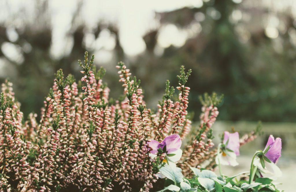 La bruyère, un tapis de fleurs pour fleurir vos tombes en hiver