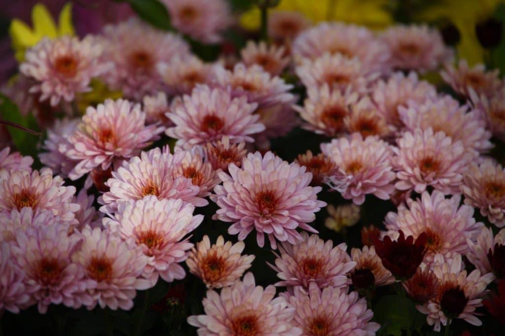 Chrysanthème, roi de l'automne mais belle en hiver