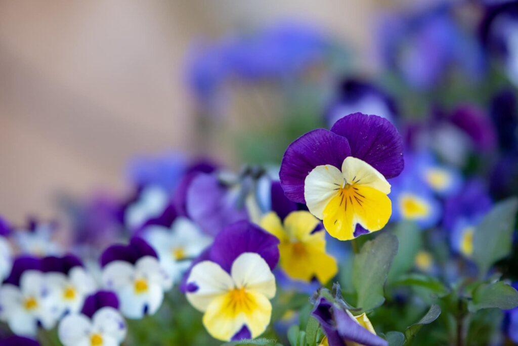 Illustration •TOP 5 des plantes pour fleurir une tombe en hiver