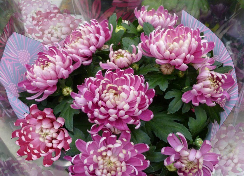 Illustration •Pourquoi les chrysanthèmes à la Toussaint?