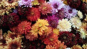 Chrysanthèmes pour fleurir une tombe à la Toussaint