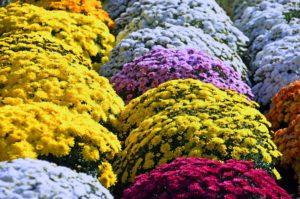 Pots de chrysanthèmes pour fleurir une tombe à la Toussaint