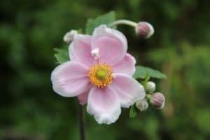 Anémone du Japon pour fleurir une tombe à la Toussaint