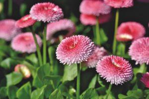 pomponette pour fleurir tombe en automne