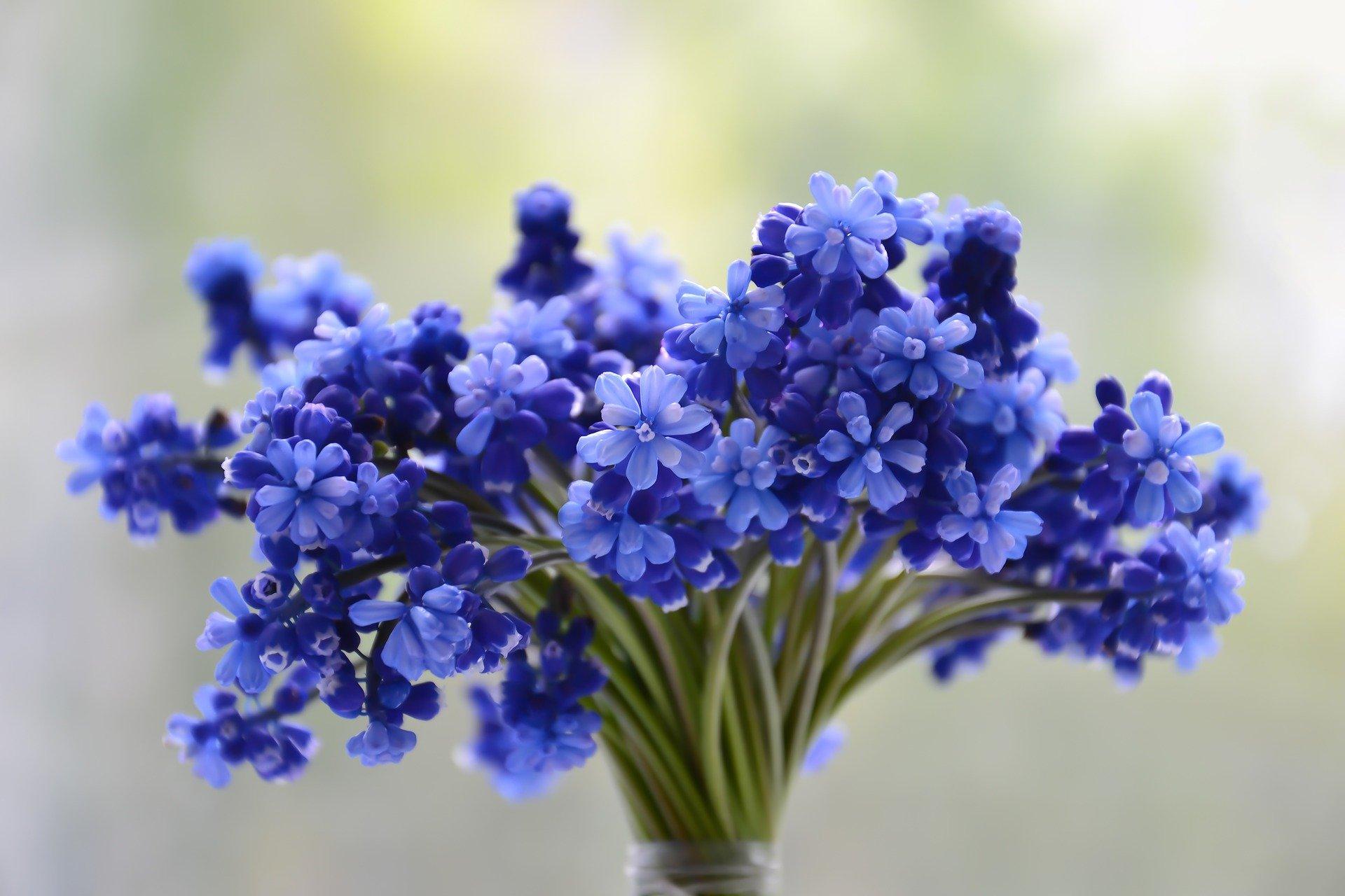 Muscaris, plantes pour le cimetière au printemps